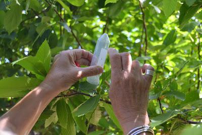 Município adere ao combate da vespa da galha do castanheiro