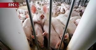 Vigilância nos matadouros reforçada para prevenir peste suína africana