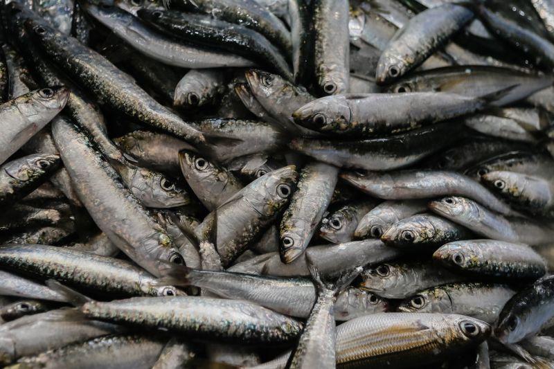 """Pescadores indignados com pedido de Bruxelas para """"apertar a cintura"""" na sardinha"""