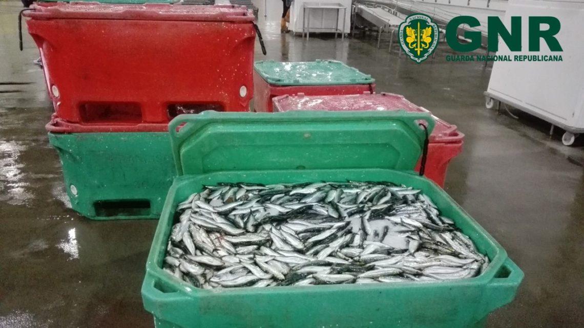 Região de Aveiro | Mais de duas toneladas de sardinha apreendidas