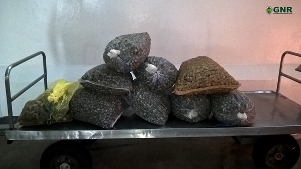 Apreendidos 200 quilos de berbigão na Gafanha da Nazaré