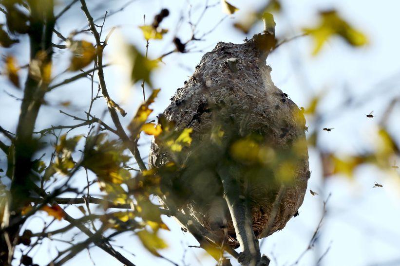 Nacional | GNR tem este ano mais de 500 denúncias de vespa asiática
