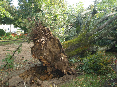 Cantanhede | Medida impõe-se por razões de segurança _ Duas árvores do jardim municipal de Cantanhede vão ser abatidas