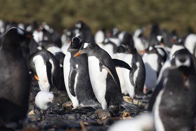 Investigação   Microplásticos encontrados pela primeira vez em pinguins na Antártida