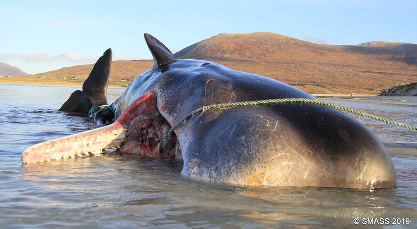 Baleia morre com bola de 100 quilos de lixo no estômago