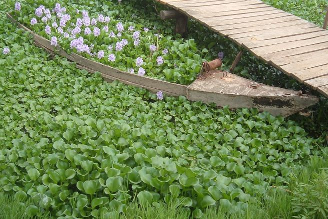 Parlamento aprova proposta do Bloco para controlo de jacintos-de-água