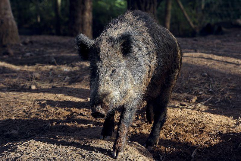 Região de Coimbra solidária com agricultores lesados por javalis
