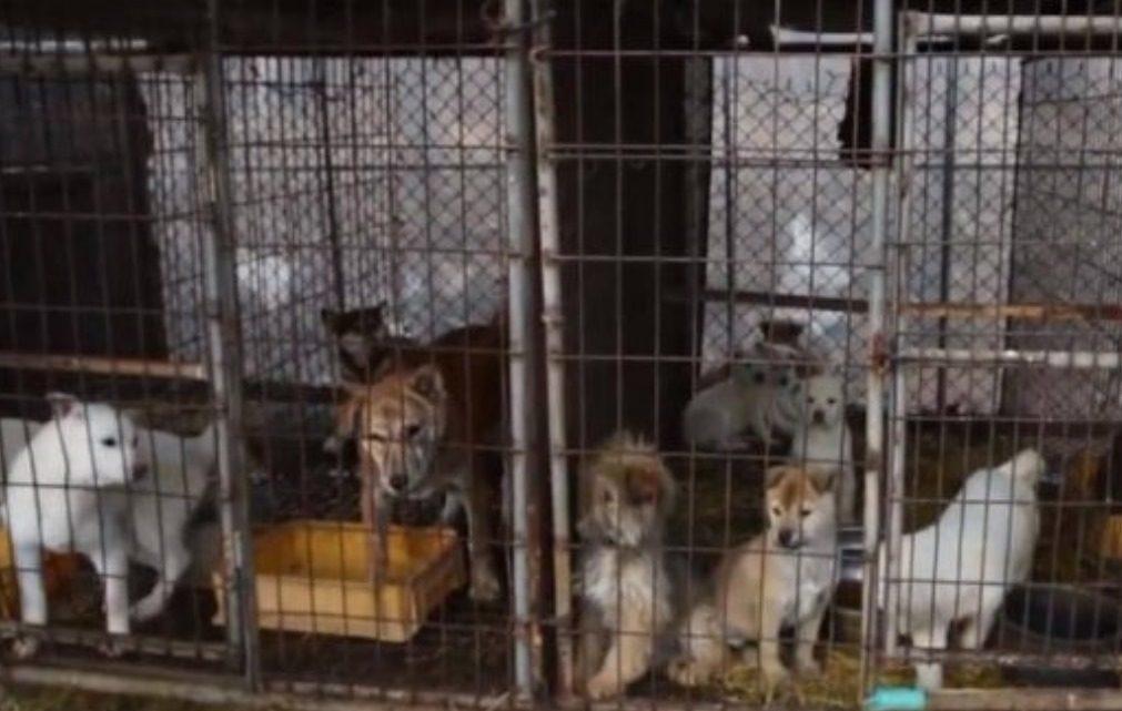 ONG salva centenas de cães destinados a abate em fábrica de carne