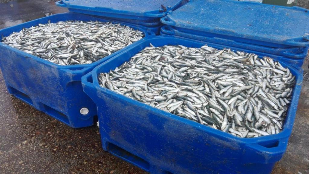 Pescadores dizem que 'stock' de sardinha está recuperado e querem pescar 30 mil toneladas este ano