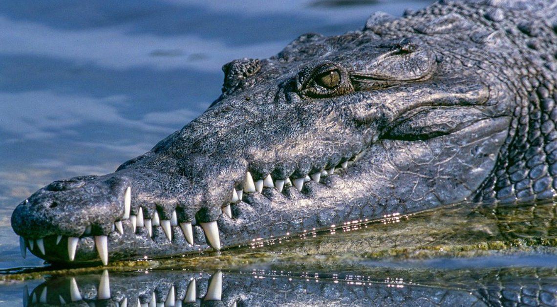 """Autoridades espanholas lançam buscas por crocodilo """"muito agressivo"""" no Douro"""