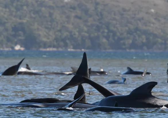 Cerca de 270 baleias estão encalhadas numa área remota da Tasmânia