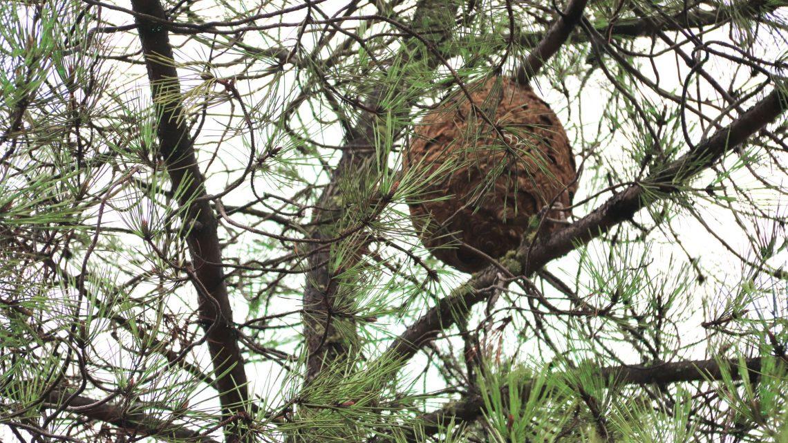 Proença-a-Nova | Serviços do Município destruíram 48 ninhos de vespa asiática em 2020