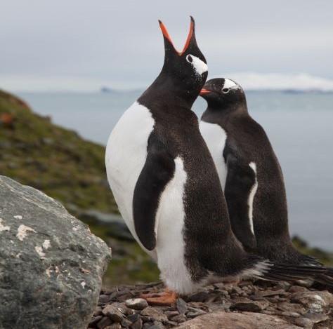 Investigação: Estudo revela a presença de microplásticos em pinguins da Antártida há mais de 15 anos
