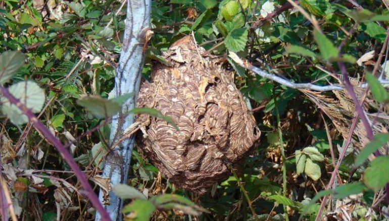 Oeste   Detetados ninhos de vespa asiática no concelho