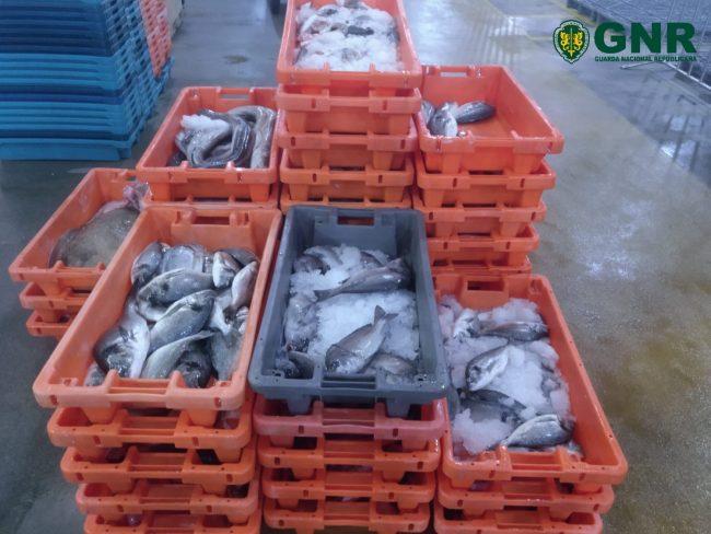COSTA NOVA: Apreendida quase meia tonelada de pescado impróprio para consumo