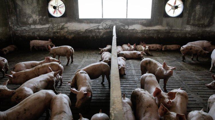 Incêndio em exploração pecuária em Montemor-o-Novo mata 1.400 leitões
