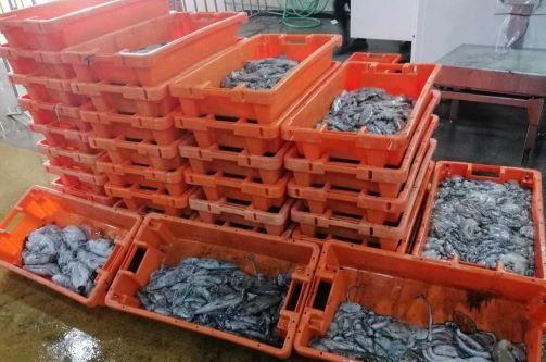 Apreendidos mais de 300 quilos de pescada na Figueira da Foz e na Nazaré