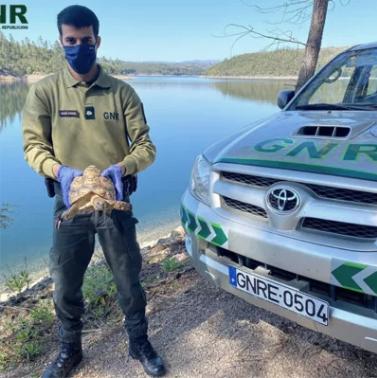 """GNR resgata tartaruga leopardo africana que estava """"a vaguear na via pública"""" em Vila Facaia"""