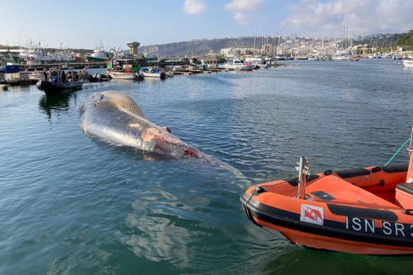 Baleia morta dá à costa em Salir do Porto