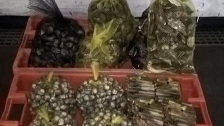 Mais de cem quilos de bivalves apreendidos na Nazaré