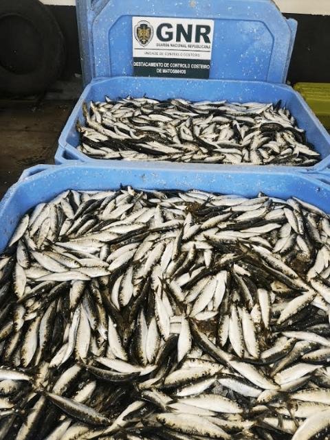 MATOSINHOS | Apreendida mais de meia tonelada de sardinha