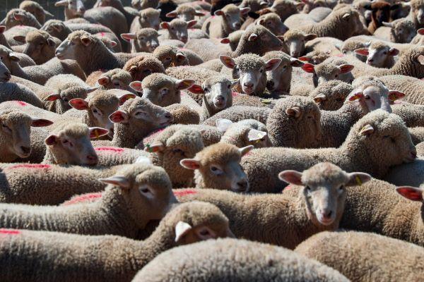 Cerca de cinco mil ovinos no Alentejo detetados com vírus da língua azul