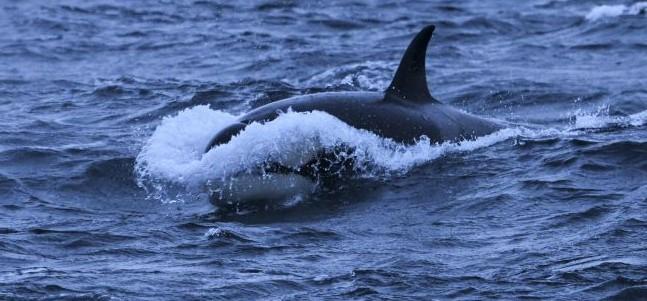 Ataque de orcas provocou danos em embarcação de pesca a sul de Troia